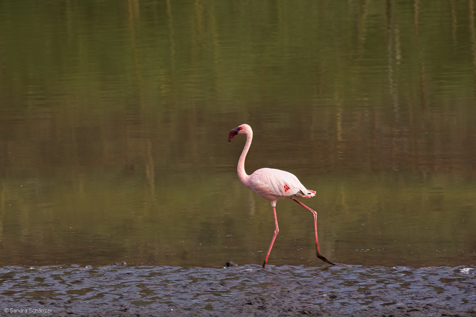 Zwergflamingo (Phoenicopterus minor)